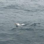 Meeuw met vishaak in z'n vleugel (1)